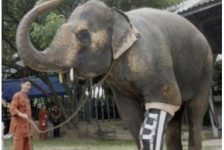Motola – Elefanta con pata artificial