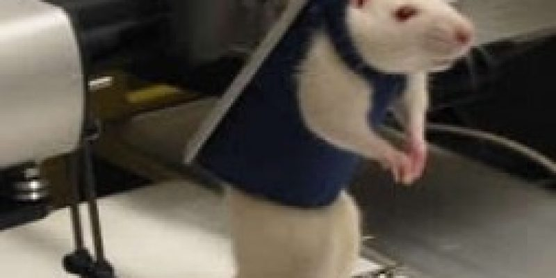 Neuroprótesis robóticas para lesión medular probada en ratas de laboratorio