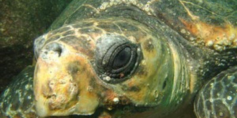 Discapacidad animal Yu chan la primera tortuga biónica