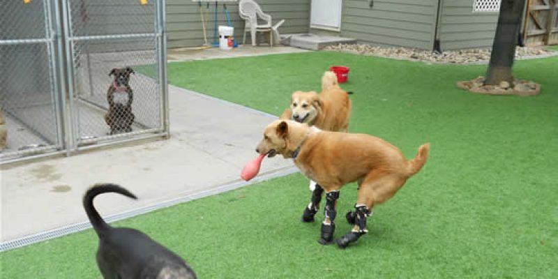 Animales discapacitados Historia de Naki´o el primer perro biónico