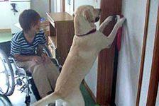 Perros de asistencia entrenados para ayudar a discapacidtados