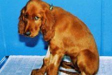 Discapacidad animal artrosis canina