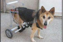 Discapacidad animal Mielopatía degenerativa