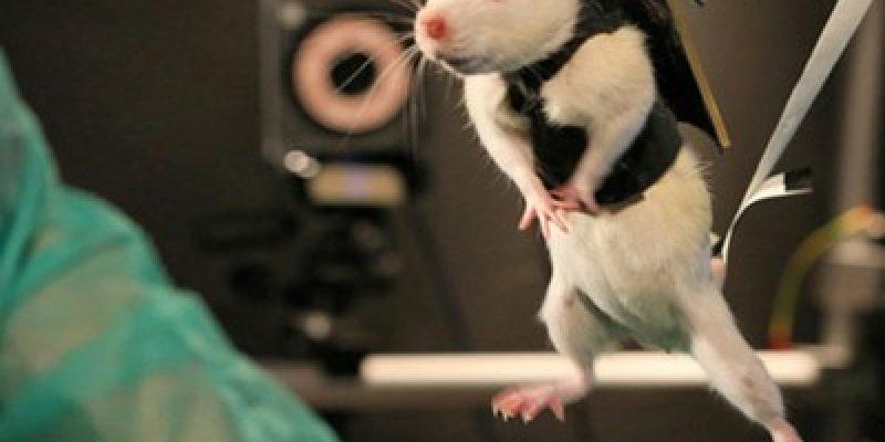 Investigadores hacen caminar a ratas paraplejicas