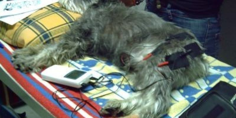Discapacidad Animal Electroterapia en Perros