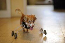 Discapacidad animal Hoppa la perra con ruedas delanteras