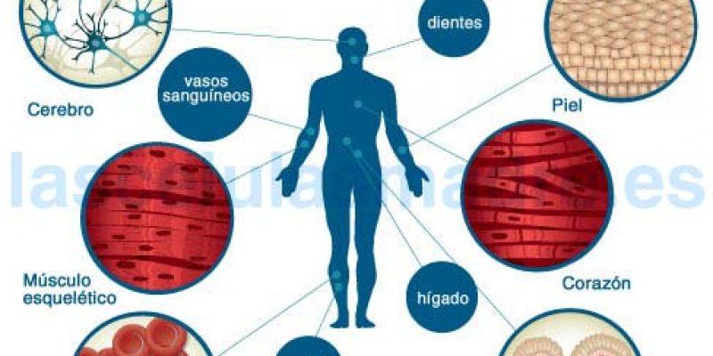Células madre Características y beneficios