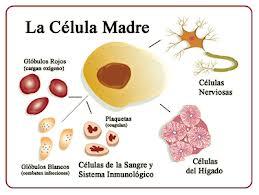 Células Madre embrionarias y adultas características y diferencias