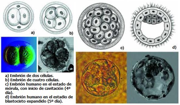Células madre investigación esperanza y controversias