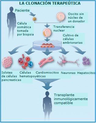 Células madre propósito de su investigación