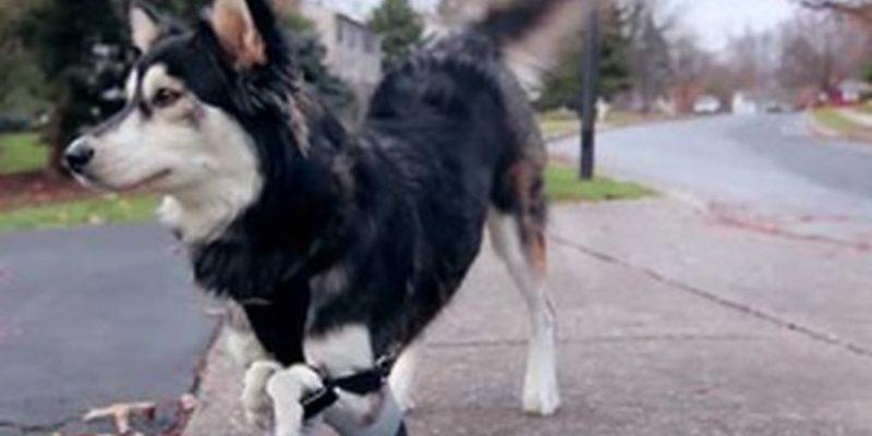 Derby el perro con protesis impresas en 3D