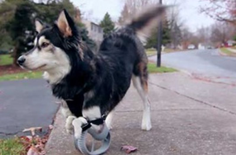 Derby-perro-protesis-impresas-3D
