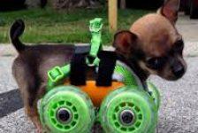 Turbo Roo el chihuahua bebe con ruedas delanteras