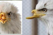 Beauty – El águila con pico de titánio