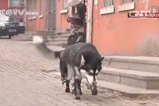 Perro vuelve a caminar gracias a protesis